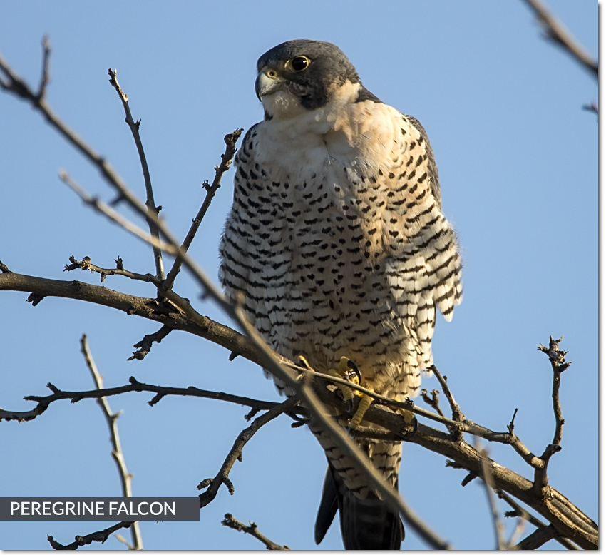 feature-peregrine