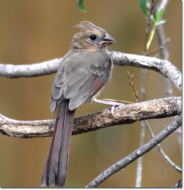 Backyard Bird Cam Northern Cardinal Juvenile