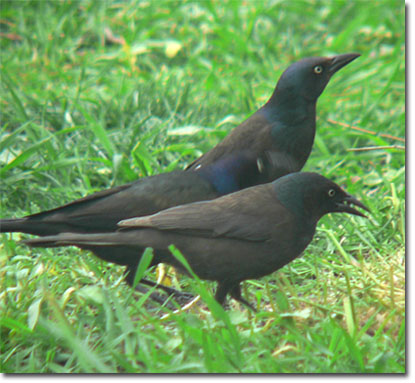 common grackle photo. Female Common Grackle in