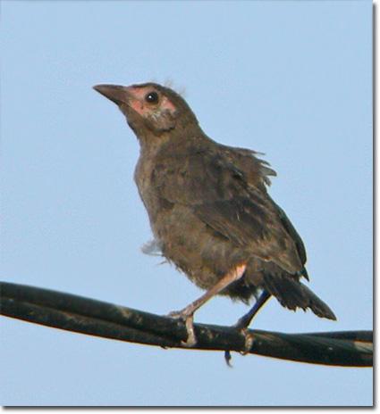 fledgling grackle - photo #16