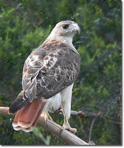 external image hawk-red-tailed-lg5.jpg