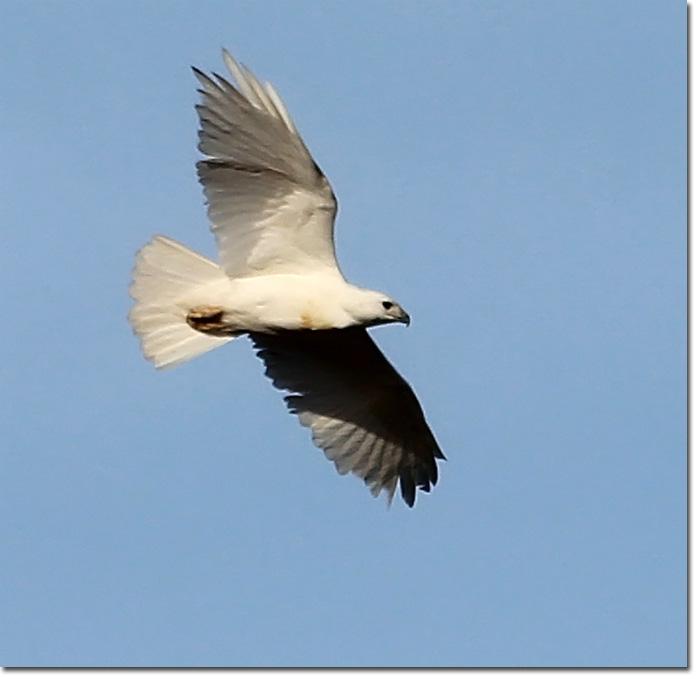 Backyard Bird Cam Partial Albino Red Tailed Hawk