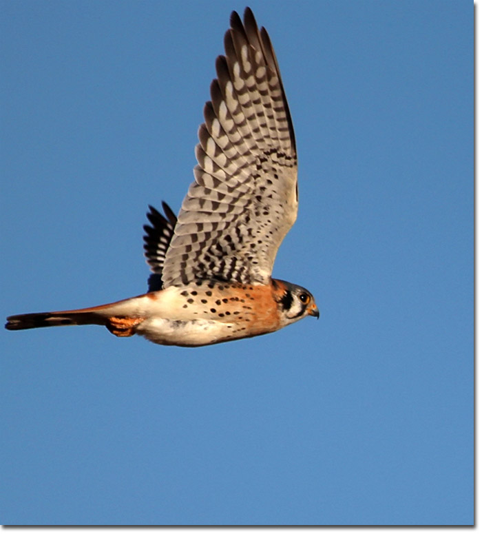Backyard Bird Cam American Kestrel Male