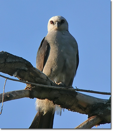 Backyard Bird Cam - Mississippi Kite