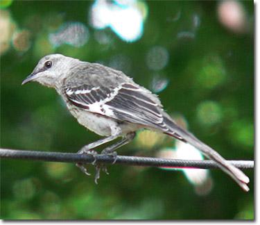 Backyard Bird Cam - Northern Mockingbird juvenile