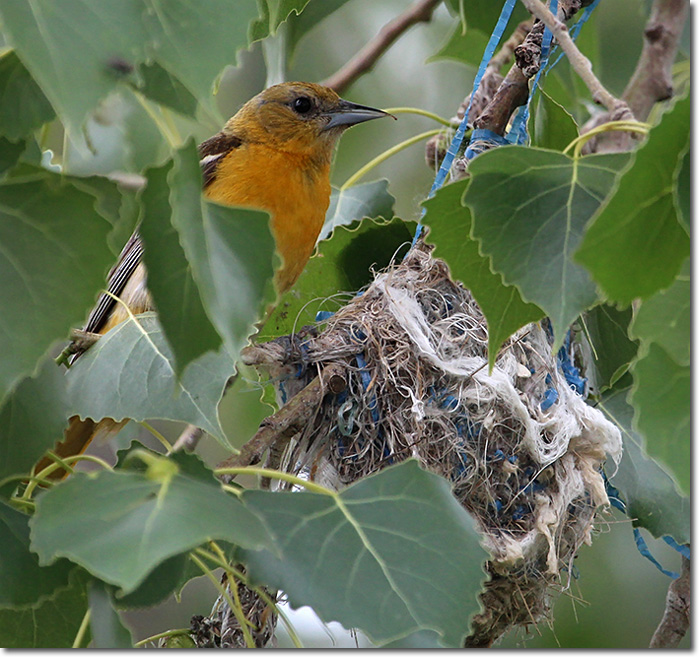 Backyard Bird Cam Baltimore Oriole Nest