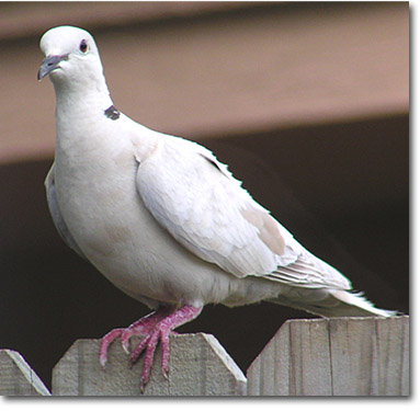 African collared dove vs eurasian collared dove - photo#22