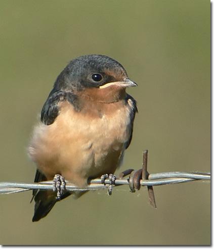 Backyard Bird Cam Fledgling Barn Swallow