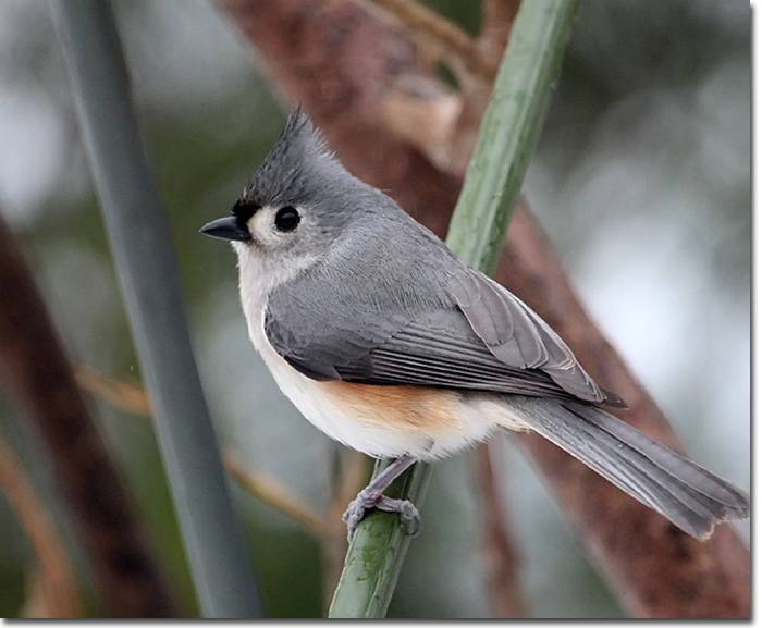 Backyard Bird Cam Tufted Titmouse