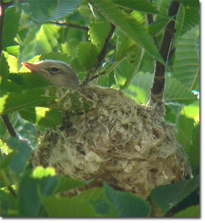 Backyard Bird Cam - Warbling Vireo on the nest - fledgling Bird Nest With Bird