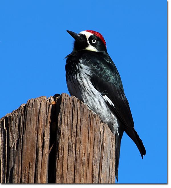 Backyard Bird Cam Acorn Woodpecker