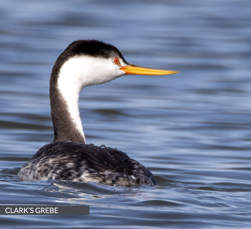 feature-clarks-grebe